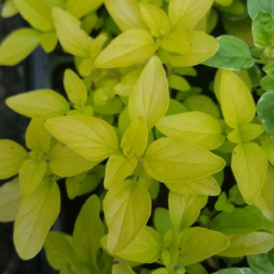 Herb Oregano - Golden