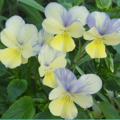 Viola cornuta 'Blue Moon'