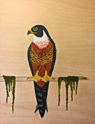 3 orangebreasted falcon
