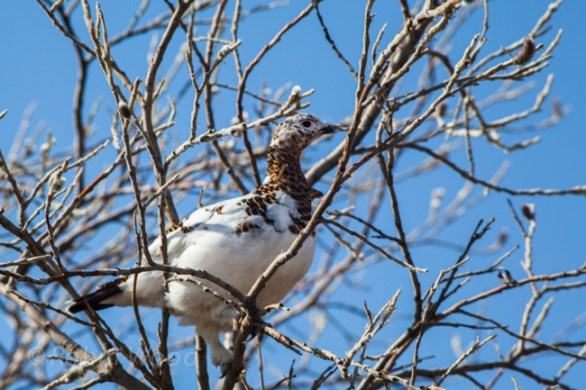 Female ptarmigan in a tree, the Alaska State Bird.