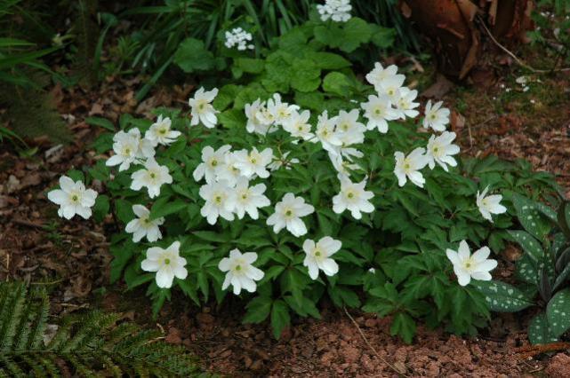 'Anemone nemorosa' (www.desirableplants.com)