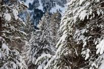 'Pinus uncinata' coniferous woodland