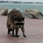 Vigilarán a mapaches de Miramar