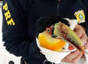 Pássaro ferido é resgatado na BR 282 em Xaxim