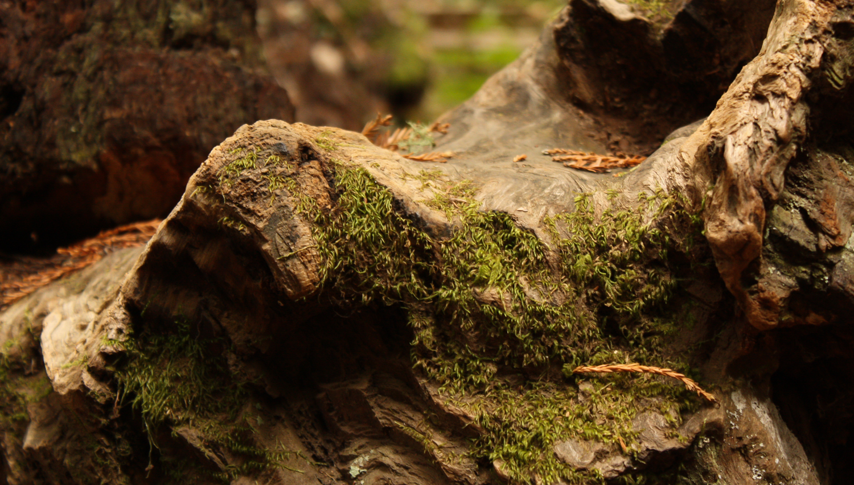 muir_woods_stump