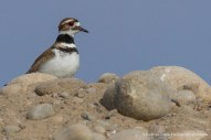 Killdeer, Photo © Rodrigo Tapia, Far South Expeditions
