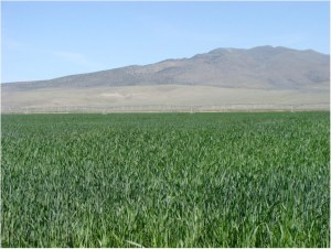 Lucio Hay Farms has In total approximately 838 acres of farm ground in production