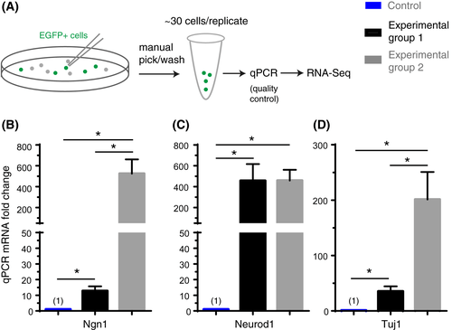 In vivo ectopic Ngn1 and Neurod1 convert neonatal cochlear