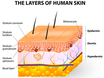layers-of-human-skin-diagram