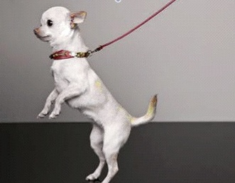 Dsquared2-for-DOGS-so-cute-on-www.fashiondailymag.com-brigitte-segura