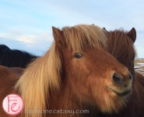 冰島馬 (Icelandic horse)