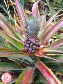 Okinawa World - Pinepple