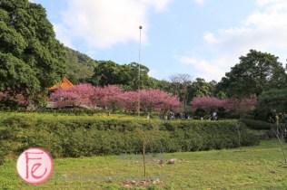 淡水天元宮賞櫻路線 / Tianyuan Temple Tamsui sakura trail