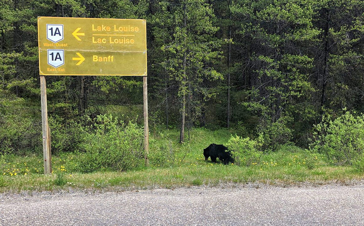 HEADER-black bear on side of the road to lake louise