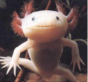 The AXOLOTL                    copyright http://southerncrossreview.org/73/axolotl.html