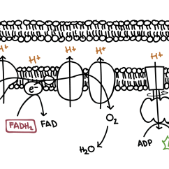 Electron Transport Chain Diagram For Dummies Car Sound System Wiring Oxidative Phosphorylation Biology Article Khan Academy Simple Of The Is A Series