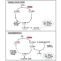 Calvin Cycle Diagram Riding Lawn Mowers In Canada Photosynthesis Homework Help