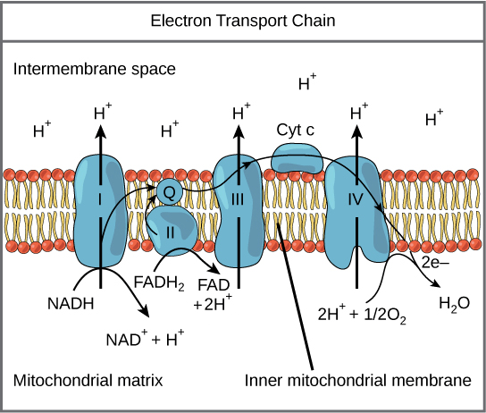 simple mitochondria diagram 2003 jeep liberty wiring oxidative phosphorylation biology article khan academy image of the electron transport chain all components are embedded in
