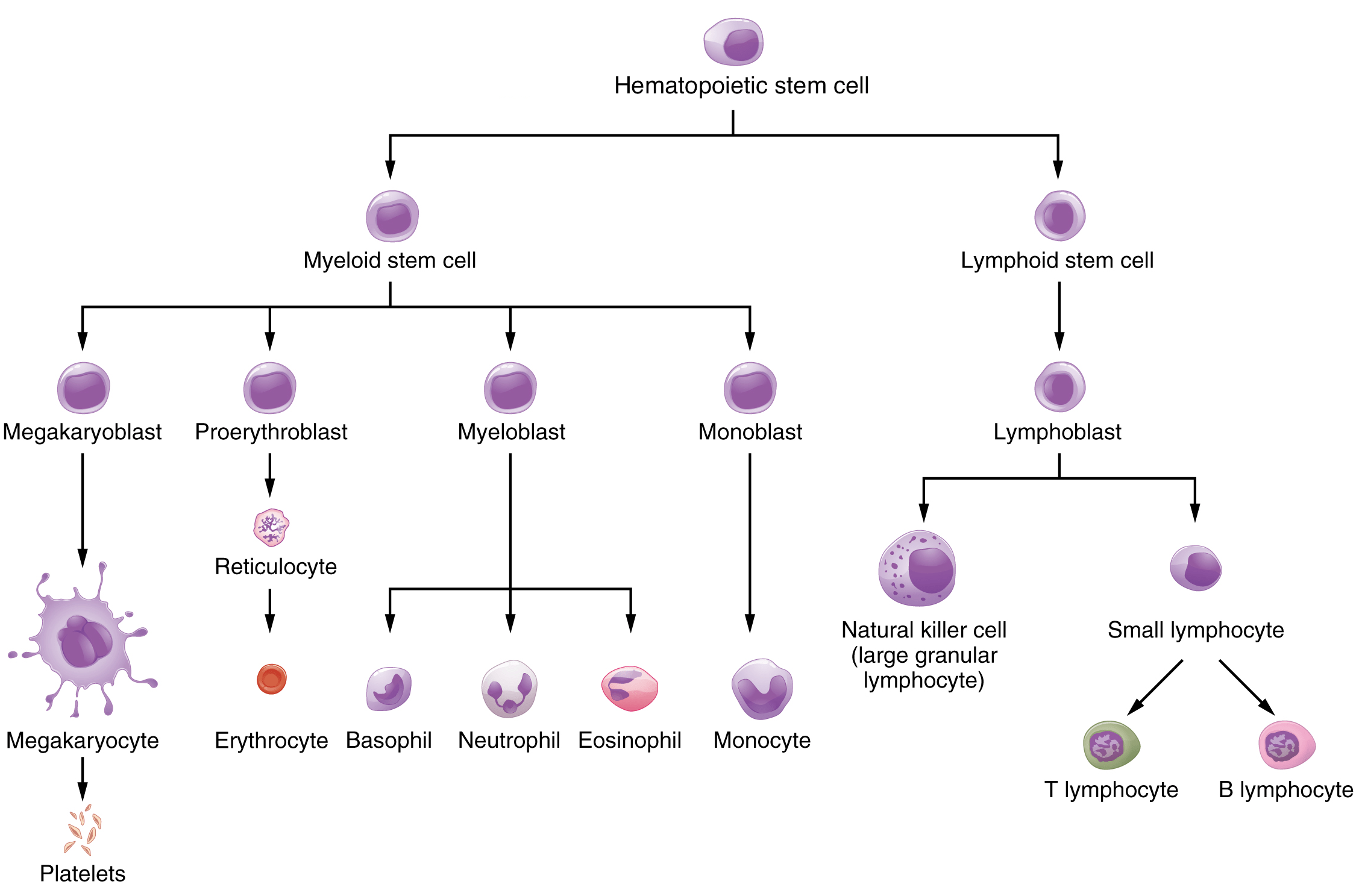 Blood Connective Tissue Diagram