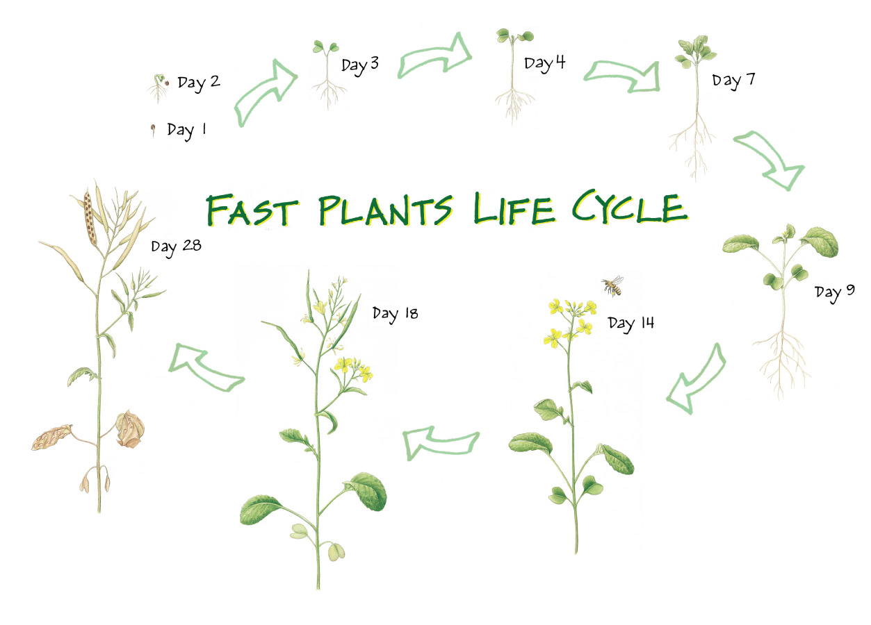 This Resource Is An Image Of A Plant Life Cycle That