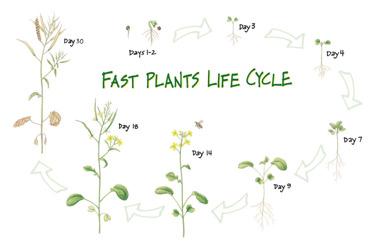 Teaching And Learning Through The Wisconsin Fast Plants
