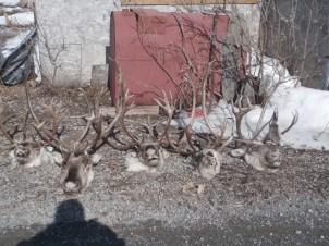 Caribou Heads