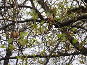 Tuliptree3