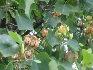Tulip_tree_37