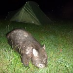 Ode to the wombat