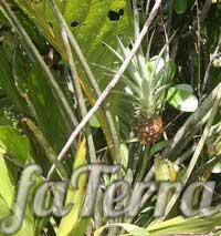 Цветок похожий на ананас название и фото