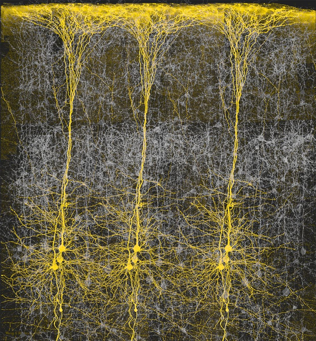 neuronal structure of cortex