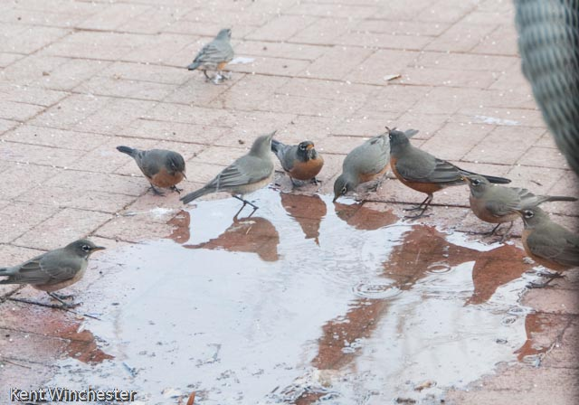 A Politic Convocation of Robins