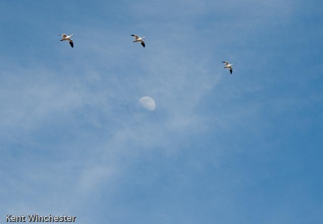 flying-snow-geese