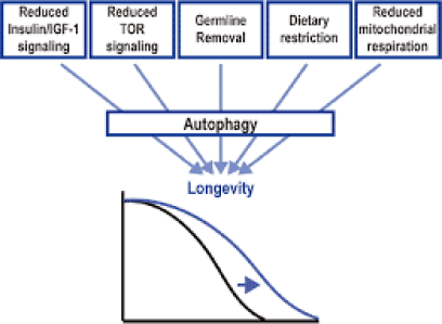The theory of why autophagy extends life is complex and unsettled, but promising