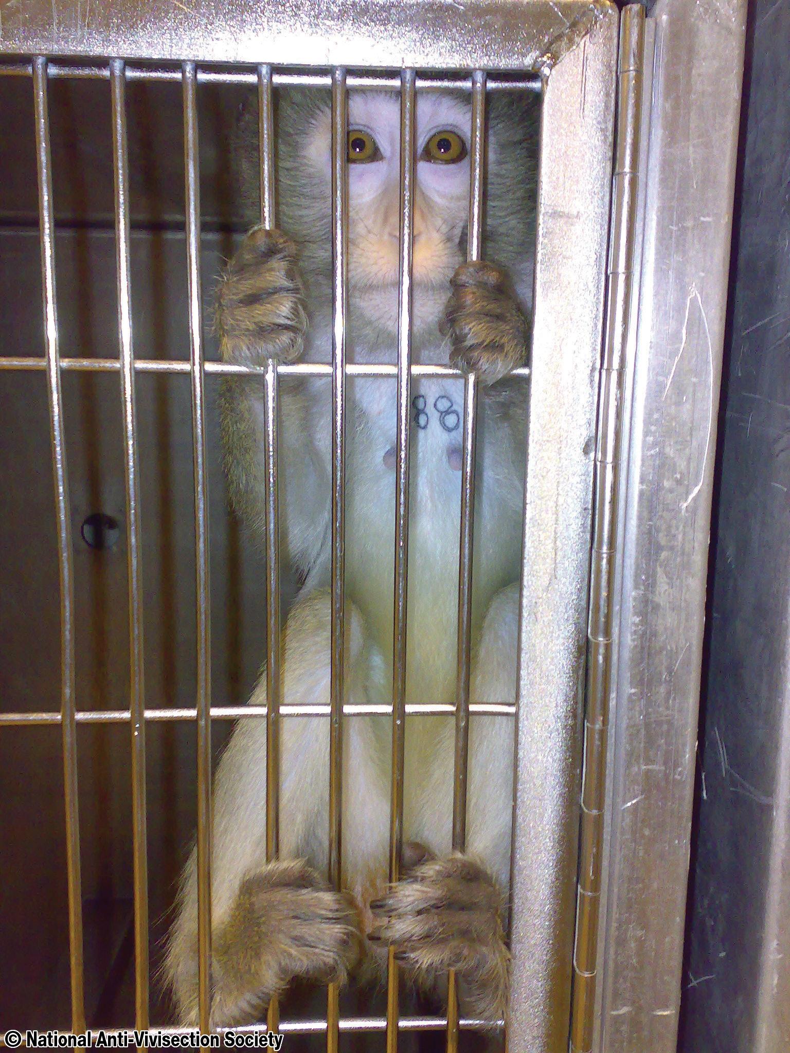 https://i0.wp.com/fatgayvegan.com/wp-content/uploads/2014/05/navs-huntingdon-macaque-03.jpg?fit=1536%2C2048