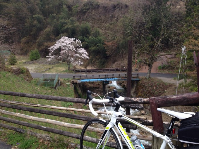 My Giant Defy overlooking a cherry tree in bloom