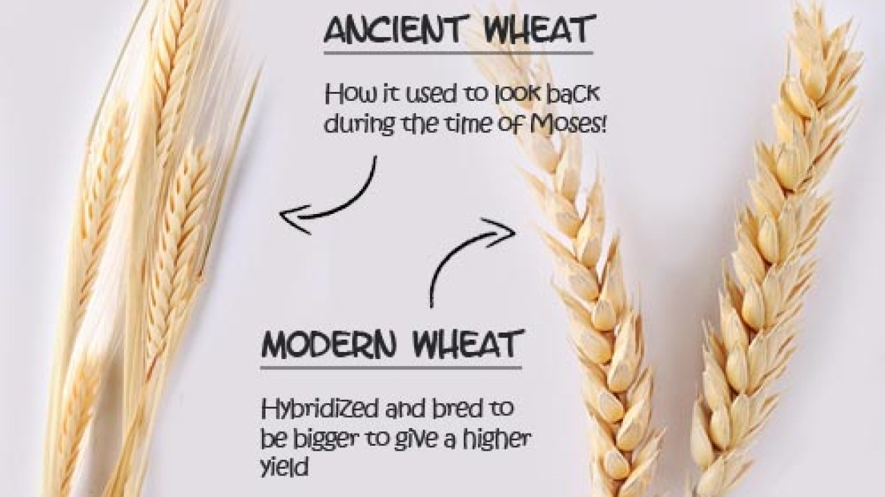 Image result for ancient wheat vs modern wheat