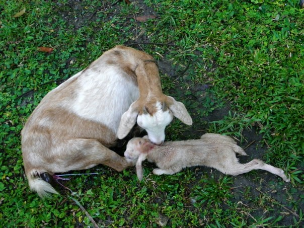 Mommy Buttercup with new kid Latte. Latte was born on March 28, 2013.