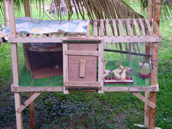Not having learned our lessons, we built another chicken coop for a clutch of chicks we took away from their mother. We decided to do this because of the high mortality rate.