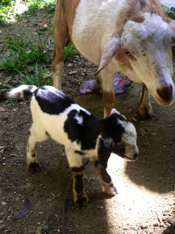 Mommy Buttercup with her new kid Polly. Polly was born on April 24, 2012.