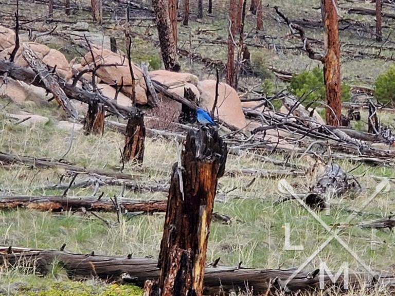 A blue bird resting on a burnt out tree stump
