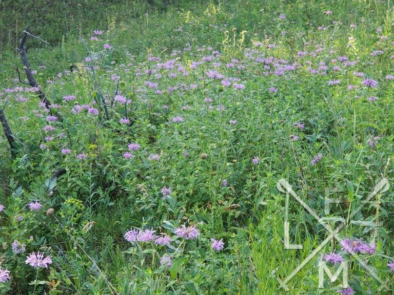Purple wildflowers blooming in a field on the O'Fallon Park West Ridge trail.