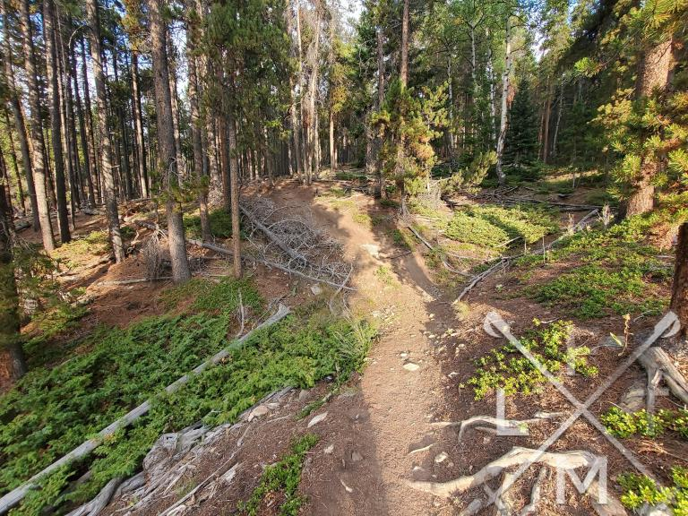 A smaller dirt trail surrounded by tall lodge pole pine trees.