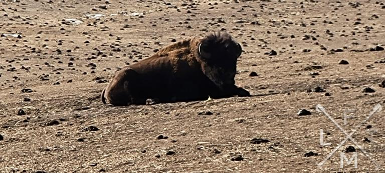 A bison laying in a field near the trailhead of the Genesee Mountain hike.