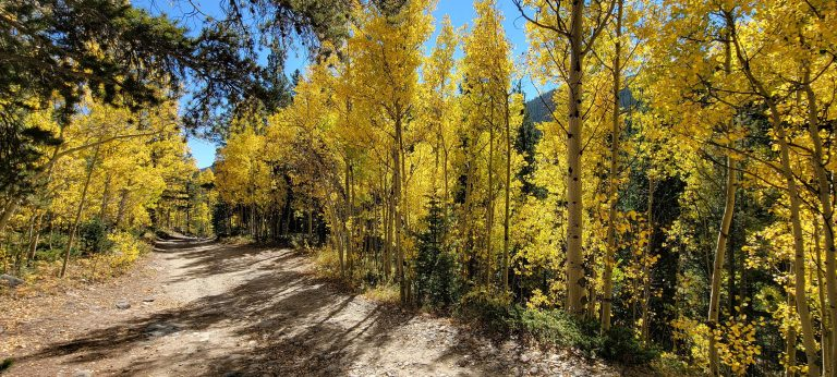 Golden Aspens line the roadside. A sign of fall in Colorado on the way to Gibson Lake
