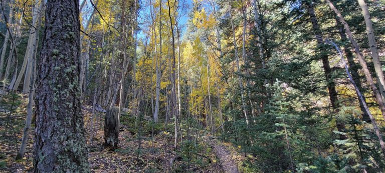 A couple of aspen trees with gold leaves peak out through the evergreens on the Whiteside 697a Trail.