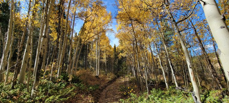 The flatter top section of the Whiteside 697a Trail was full of golden aspen trees on this fall hike.