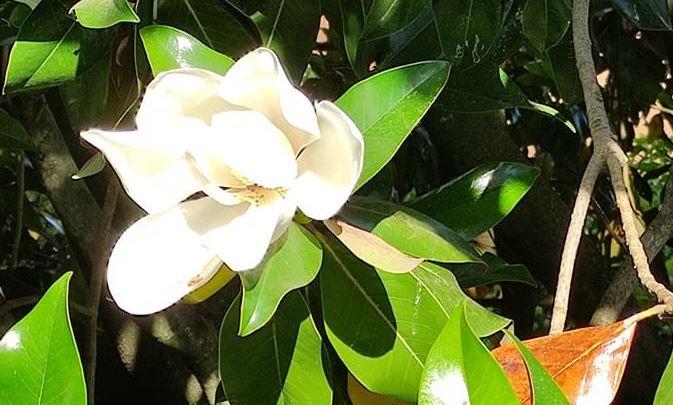 Magnificat intorno ad un fiore di magnolia baciato dalla luce