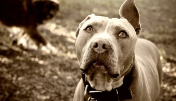 Shelters Inconsistently Recognize Pit Bulls