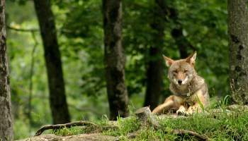 Managing Human-Coyote Conflicts In Cities Via Prey Species